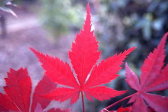 Acer - Maple Magic