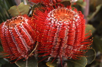 Banksia - Tough & Tender Winter Colour