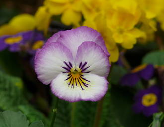 Pansy Gift Card