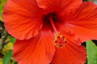 Hibiscus - Rose of China