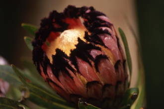Protea - Timeless Treasures