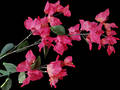 Bougainvillea Stem – Silk Flowers
