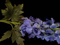 Delphinium – Dark Blue Stem