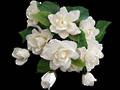 Gardenia Bunch - White