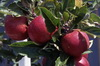 Malus Apple 018-100x66