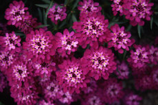Iberis Candytuft 015-230x153