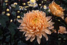 chrysanthemum 015-230x153