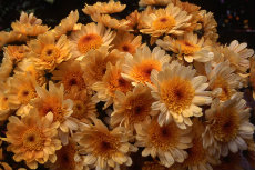 chrysanthemum 019-230x153