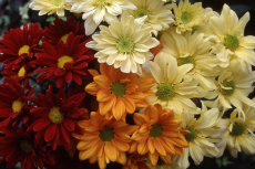 chrysanthemum 021-230x153