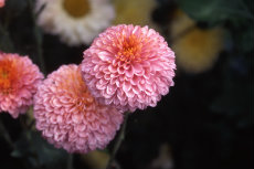 chrysanthemum 048-230x153