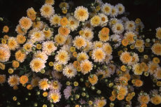chrysanthemum 079-230x153