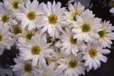 chrysanthemum 081-230x153
