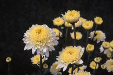 chrysanthemum 085-230X153