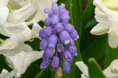 grape hyacinth 01-144
