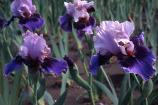 German Bearded Iris 025a-230x153