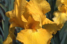 German Bearded Iris 037-230x153