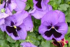 pansy 01-230X153