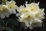 Rhododendron 07-301