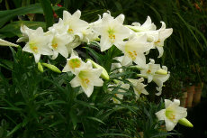 Lilium longiflorum Snow Queen-230x153